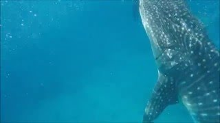Oslob Whale Shark Watching - Oslob Cebu