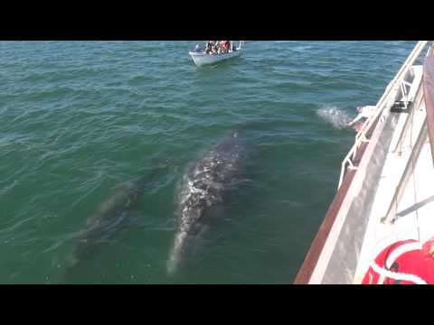 Gray Whale Family Reunion 2015