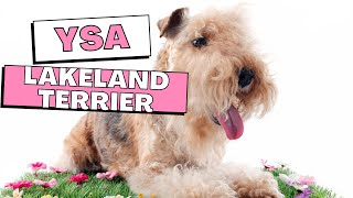 All Dogs Breeds  Lakeland Terrier Dog Breed Information And Personality