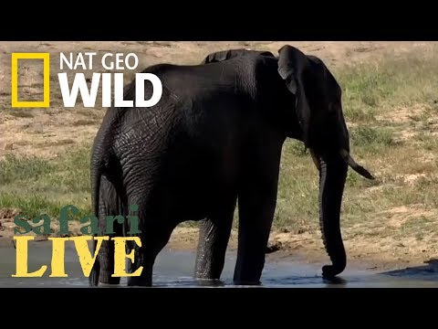 Elephants Take a Swim Break – Day 90 | Safari Live