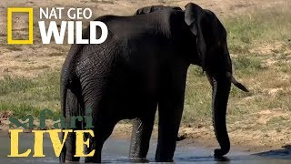Elephants Take a Swim Break – Day 90 | Safari Live thumbnail