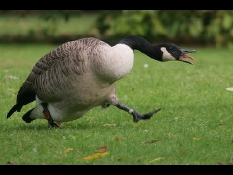 Goose chasing people - funny geese attack compilation