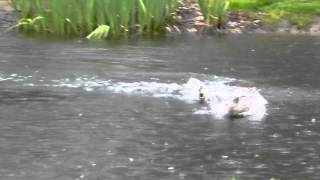 Weird Mallard Duck mating rituals