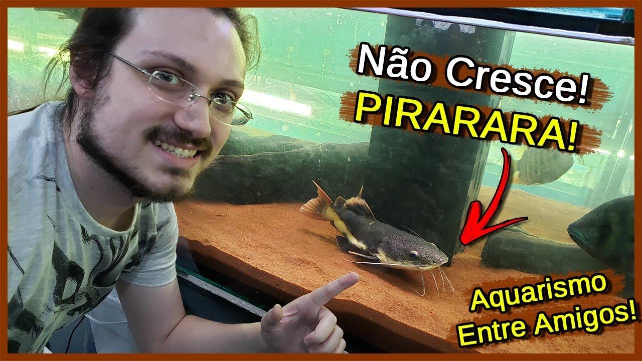 Encontrei um Peixe PIRARARA que NÃO CRESCE! - Aquarismo Entre Amigos
