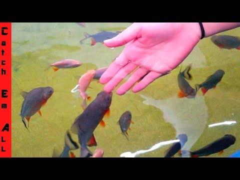 1,000 PACU FISH BABIES!!!