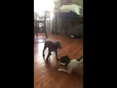 Doberman Puppy Playing With Small Dog - Fun Times Too Cute