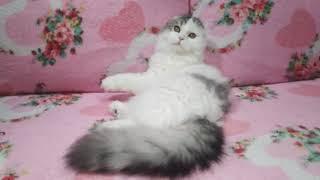 Шотландский хайленд фолд. Котёнок 6 месяцев.