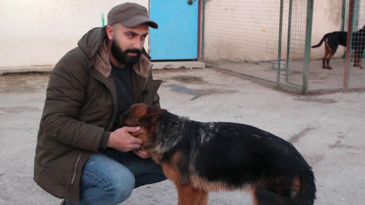 70.000 DOLAR'LIK ALMAN KURDU YAVRULARI  ( German Shepherd ) K9