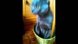 Кот породы Голубая русская.