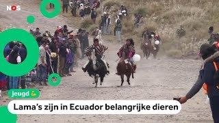 Dayana (10) en lama Jaimito winnen opvallende lama-race