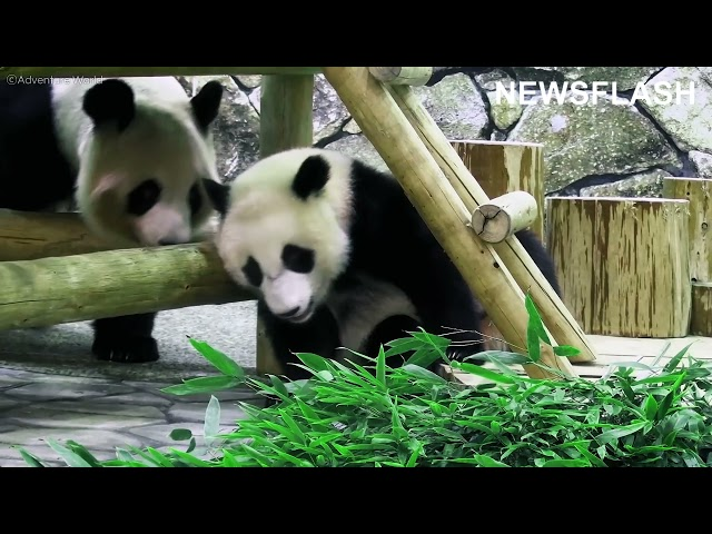 Adorable Giant Panda Cub Rolls Around While Playing With Its Mum In Japanese Zoo