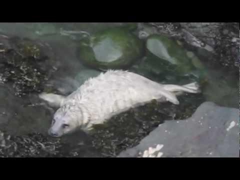 Seal Pup Strumble Head