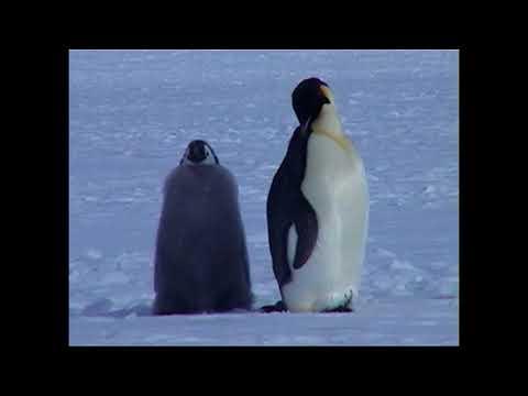 Antarctica. Ross Sea Part 2.  Emperor Penguins