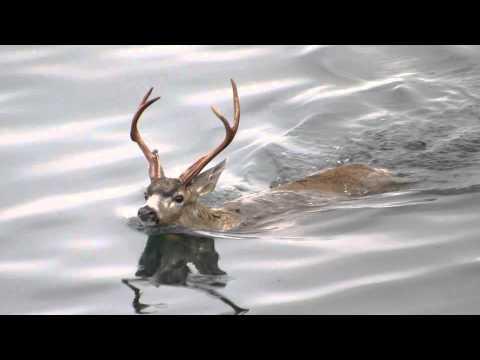 The Swimming Deer of Oak Bay
