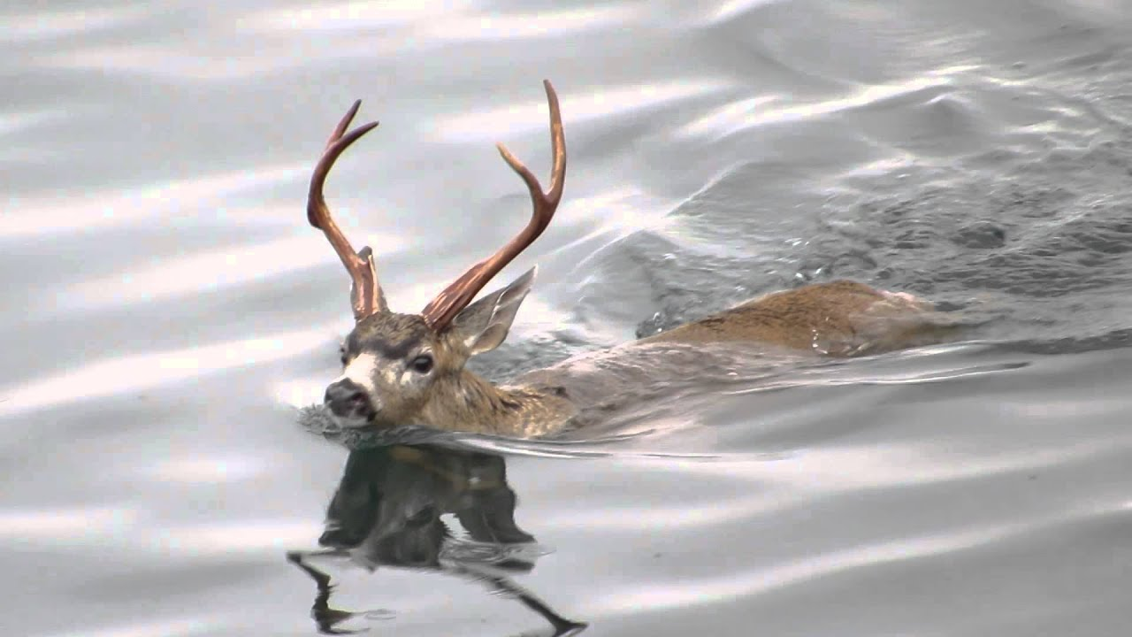 The Swimming Deer Of Oak Bay  Youtube