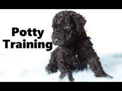 How To Potty Train A Kerry Blue Terrier Puppy - Training Kerry Blue Terrier Puppies Fast & Easy
