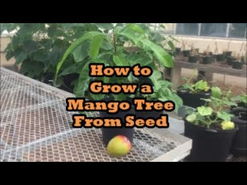 How to Grow Mango Trees From Seed Grocery Store Growing Ep. 1