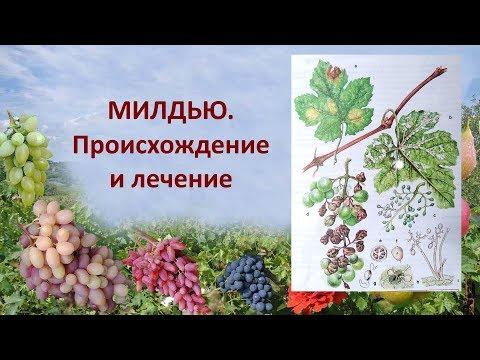 Милдью или ложная мучнистая роса на винограде  Милдью