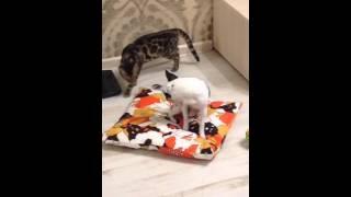 Бенгальская кошка нападает на собаку)