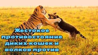 Жестокое противостояние диких кошек и волков против собак