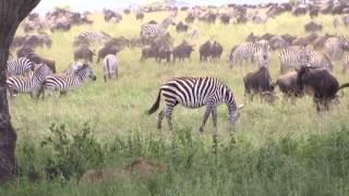 Drama on the Serengeti - Lion vs Zebra