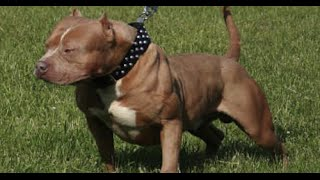 Crate Training Your Pit Bull Terrier Dog