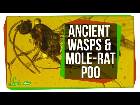 Parasitic Wasps Found Inside 30 Million-Year-Old Flies | SciShow News