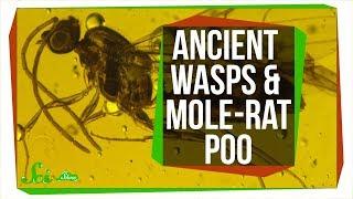Parasitic Wasps Found Inside 30 Million-Year-Old Flies | SciShow News