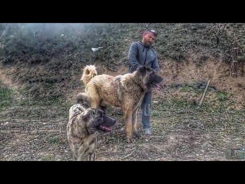 erkek dağ köpeğini kaçırdık çiftlikte kıyamet koptu