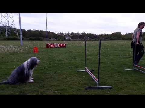 Bearded Collie Fenne's first agility lesson