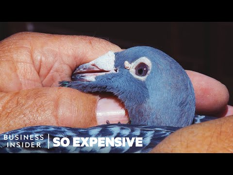 Why Racing Pigeons Are So Expensive | So Expensive