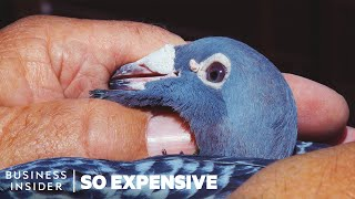 why-racing-pigeons-are-so-expensive-so-expensive