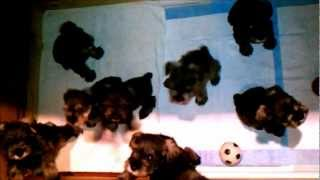 Miniature Schnauzer Puppies For Sale. Hanover/ Richmond Virginia