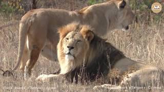Марсель танцует от любви, Олежка - от угощения ))) Львы Тайгана. Lions Taigan.