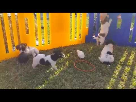 Jack Russell, Puppies, For, Sale, in, Central, Mississippi, County, MS, Hinds, Jackson, Hattiesburg