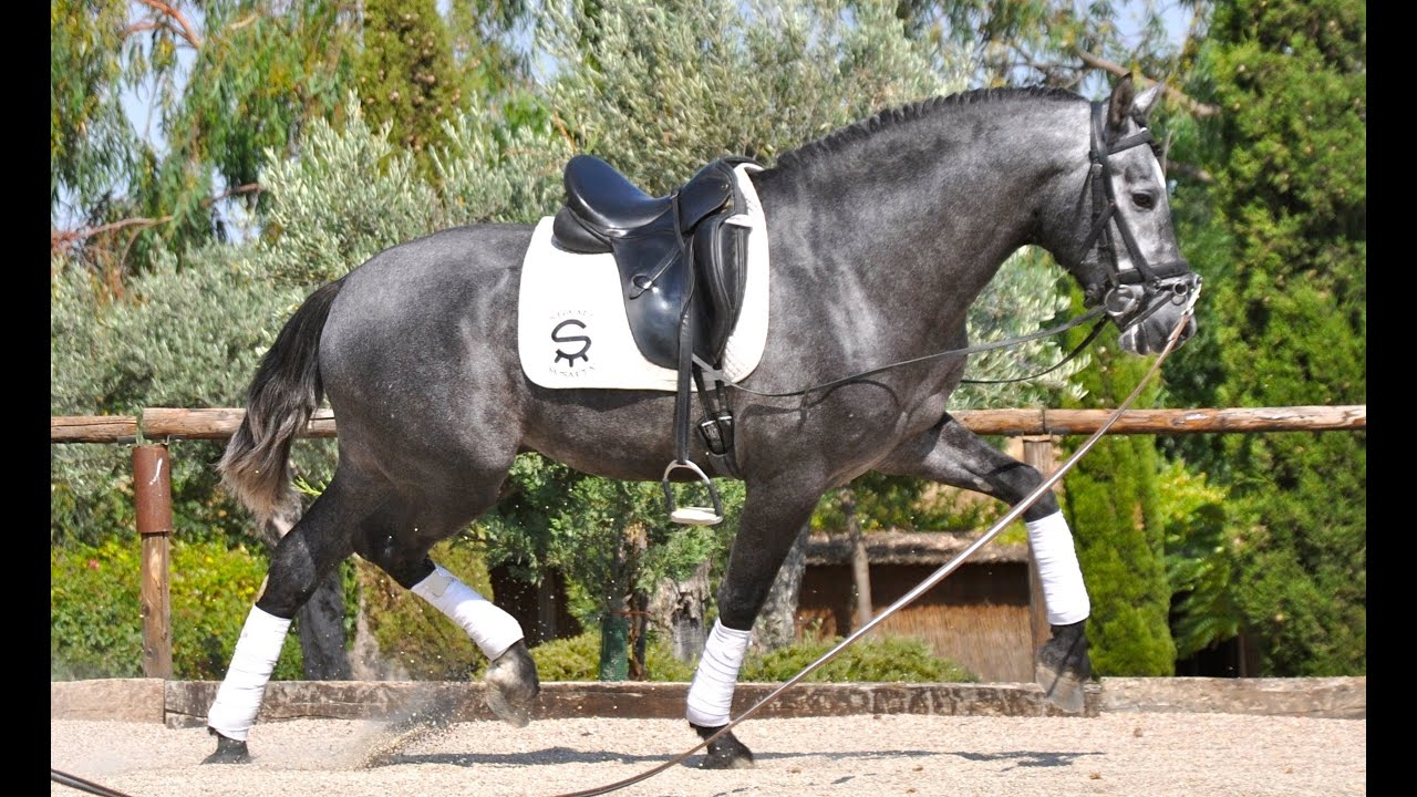 Nilo Su Andalusian Horses For Sale Two Months