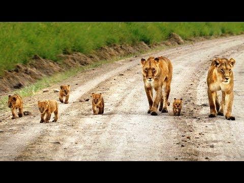 गीर जंगल के रास्ते पर शेर परिवार की मस्ती Asiatic Lion family fun on the Gir forest road