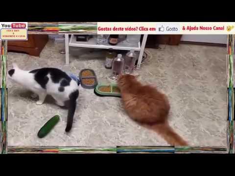 Gatos e Pepinos Para Gargalhadas   YouTube