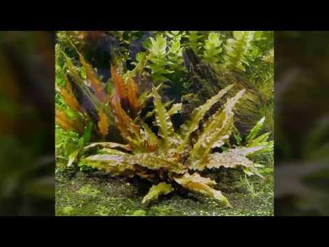 Cryptocoryne Wendtii 'Brown'- GUIA DE PLANTAS PARA ACUARIOS #4