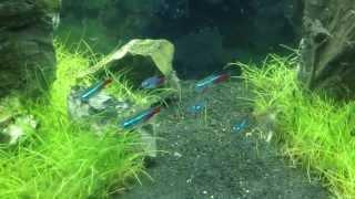 10 Gallon Iwagumi Aquarium
