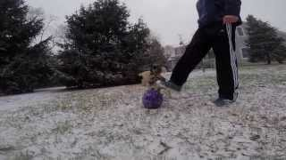 Poodle Puppy And Schnauzer Playing In The Snow