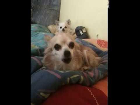 Chihuahua Comtessa Big Love extra mini