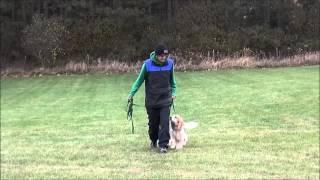 Noka (cockalier) Boot Camp Dog Training Graduate Minneapolis