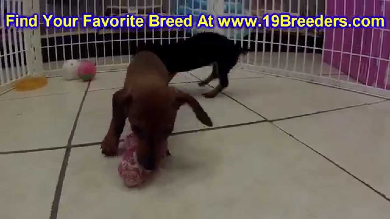 Miniature Dachshund Puppies Dogs For Sale In Lexington County