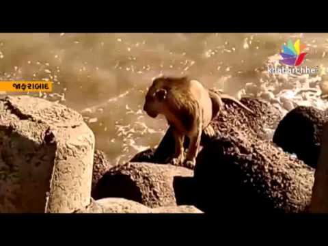 Lion be sea voyage in jafrabad