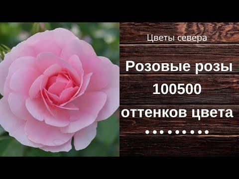 Розовые розы 100500 оттенков цвета