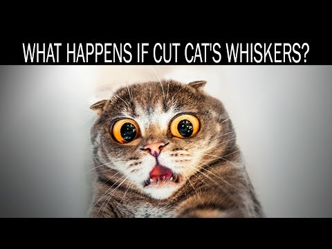 What Happens If Cut Cat's Whiskers