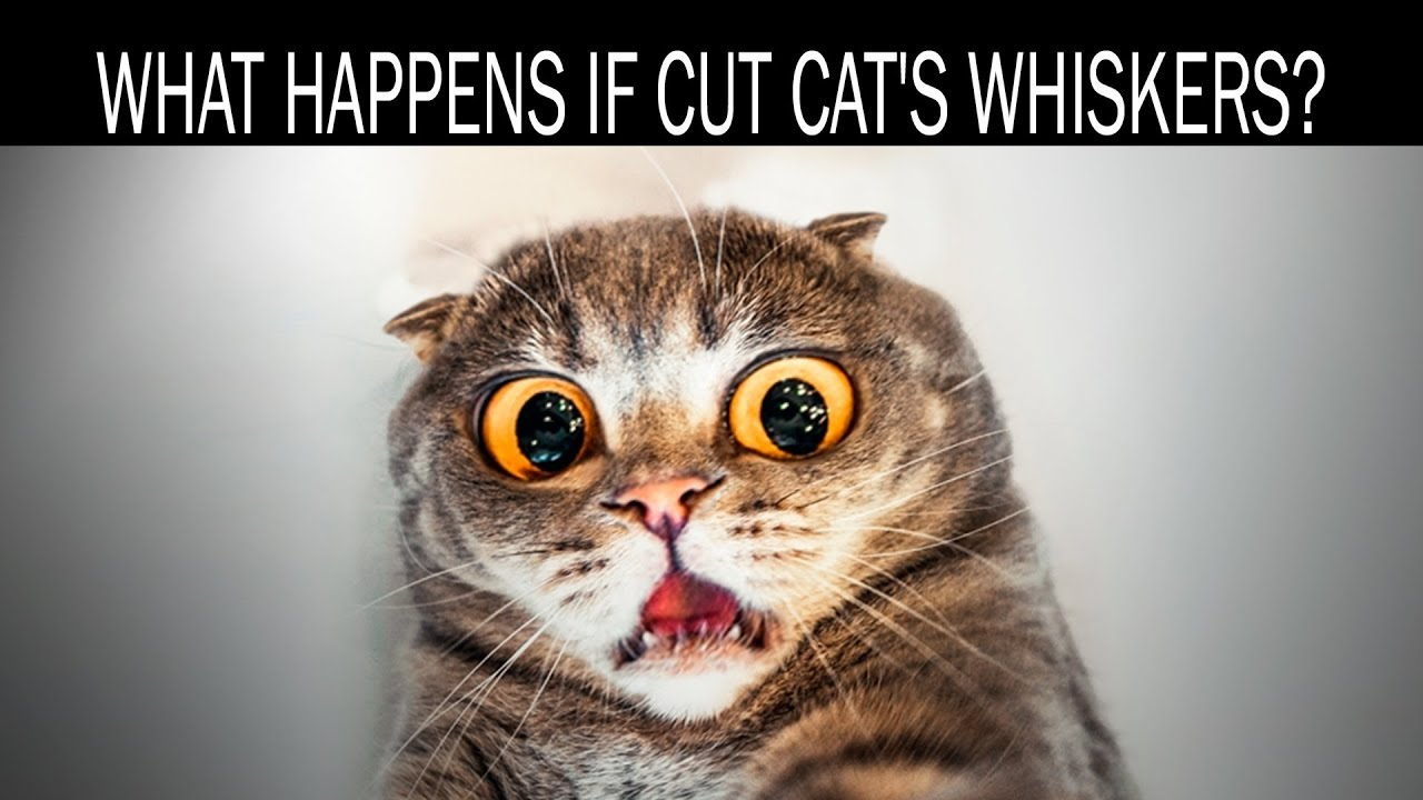 What happens if cut cat's whiskers - YouTube