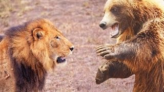 lion vs bear top real fights to death animal attack 2015