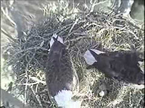 2008 Blackwater Eagle Cam -Two New Eaglets Video 4